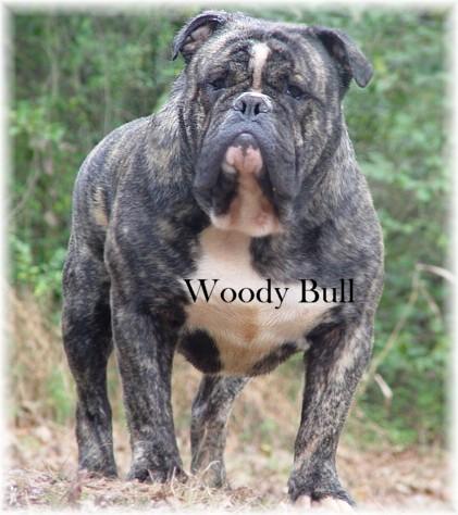Victorian bulldog - photo#19